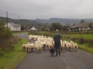 Sheep on road